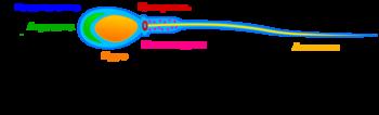 Сперматогенез рефераттар кзакша
