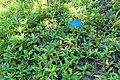 Sphagneticola trilobata - Mildred E. Mathias Botanical Garden - University of California, Los Angeles - DSC03003.jpg
