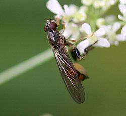 Sphegina.sp.female.jpg