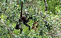 Spider monkey - Flickr - GregTheBusker (3).jpg