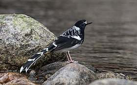 Spotted Forktail (38616112672).jpg