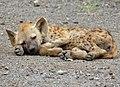 Spotted Hyaena (Crocuta crocuta) juvenile sleeping (13780297984).jpg