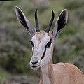 Springbok (Antidorcas marsupialis hofmeyri) young adult head.jpg