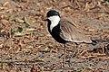 Spur-winged lapwing (Vanellus spinosus) Ethiopia.jpg