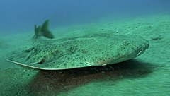An angelshark, a fish with a flattened body and mottled skin, swims just above the sea floor