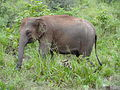 Sri Lankan Elephant in Hurulu Eco Park 32.JPG