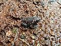 Srilankan painted frog.jpg