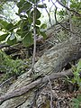 Starr-020620-0067-Clusia rosea-seedling-Kapalua-Maui (23923169843).jpg