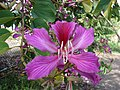 Starr-061109-1473-Bauhinia x blakeana-flower-Kokomo Rd Haiku-Maui (24573288020).jpg