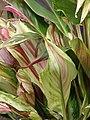 Starr-070302-4948-Cordyline fruticosa-red and green swirled leaves-Pukalani-Maui (24883450185).jpg