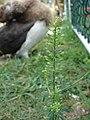 Starr-080531-4782-Lepidium virginicum-frutescens with Laysan albatross chick-Charlie barracks Sand Island-Midway Atoll (24282600524).jpg