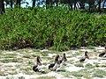 Starr-080531-4838-Scaevola taccada-habit with Laysan albatross-Commodore Ave across from barracks Sand Island-Midway Atoll (24615357750).jpg