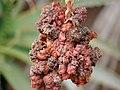 Starr-090430-6648-Aloe arborescens-strange growth-Kula-Maui (24326231323).jpg