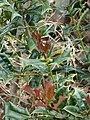 Starr-090430-6717-Ilex aquifolium-leaves and fruit-Kula-Maui (24322608414).jpg