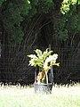 Starr-090610-0437-Bocconia frutescens-in pot-Haiku-Maui (24668005660).jpg