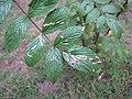 Starr-101103-9511-Rubus niveus-leaves with chewing-Polipoli-Maui (24429705013).jpg