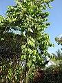 Starr-110330-3810-Cananga odorata-habit-Garden of Eden Keanae-Maui (24453903403).jpg