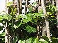 Starr-110330-3846-Polyscias guilfoylei-habit-Garden of Eden Keanae-Maui (24453957583).jpg