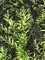 Starr-110331-4418-Cestrum nocturnum-leaves-Shibuya Farm Kula-Maui (24714024359).jpg