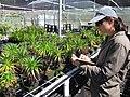 Starr-110524-5829-Argyroxiphium grayanum-in greenhouse with Kim-Haleakala National Park-Maui (25002743821).jpg