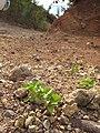 Starr-110929-9607-Acanthospermum australe-habit-Hanaula-Maui (24490078893).jpg