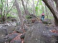Starr-120425-9391-Syzygium cumini-large trees with Forest-Waikapu Valley-Maui (25114027306).jpg