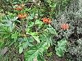 Starr-120606-7057-Jatropha podagrica-habit-Laulima Farm Kipahulu-Maui (25051467381).jpg