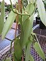 Starr-120613-9633-Vanilla planifolia-habit-Home Depot Nursery Kahului-Maui (24518655103).jpg