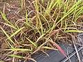 Starr-120620-7500-Cenchrus purpureus-local napier grass seedlings-Kula Agriculture Station-Maui (24778097139).jpg