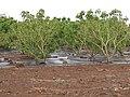 Starr-120620-7580-Jatropha curcas-biofuel trial plantings-Kula Agriculture Park-Maui (25145943175).jpg