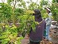 Starr-120620-9737-Jatropha curcas-habit with Pam and Forest-Kula Agriculture Park-Maui (25067248932).jpg
