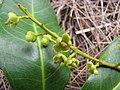 Starr-130319-3160-Cupaniopsis anacardioides-flowers and leaves-Kilauea Pt NWR-Kauai (24913129950).jpg