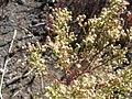 Starr-140630-4678-Senecio vulgaris-seeding habit-Sliding Sands HNP-Maui (25244123945).jpg