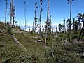 Starr-160425-0911-Rubus niveus-filling light gap in tree fall zone-Polipoli-Maui (26923270936).jpg