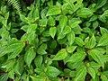 Starr-170516-0208-Clidemia hirta-habit-Lower Kula Pipeline Haiku Uka-Maui (34841755560).jpg