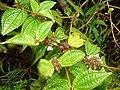 Starr-170516-0283-Clidemia hirta-leaves flowers fruit-Lower Kula Pipeline Haiku Uka-Maui (35063040372).jpg