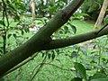 Starr-180406-0771-Cinnamomum camphora-green bark young tree-DOFAW Arboretum Hilo-Hawaii (41369412881).jpg