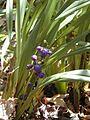 Starr 030418-0113 Dianella sandwicensis.jpg