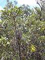 Starr 030603-0015 Sophora chrysophylla.jpg