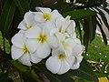 Starr 030612-0035 Plumeria rubra.jpg