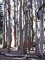 Starr 031214-0053 Eucalyptus obliqua.jpg