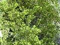 Starr 040117-0056 Conocarpus erectus.jpg