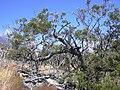 Starr 040723-0429 Sophora chrysophylla.jpg