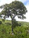 Starr 040731-0030 Tetraplasandra oahuensis