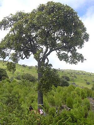 Tetraplasandra - Image: Starr 040731 0030 Tetraplasandra oahuensis