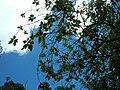 Starr 050818-4105 Pipturus albidus.jpg