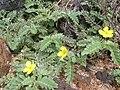 Starr 060228-8801 Tribulus cistoides.jpg