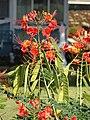Starr 061111-1564 Caesalpinia pulcherrima.jpg