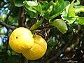 Starr 070112-3383 Citrus sinensis.jpg