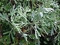 Starr 070208-4343 Artemisia australis.jpg